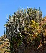 Euphorbia canariensis - Macizo de Anaga.jpg