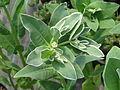 Euphorbia marginata Icicle (9344356310).jpg