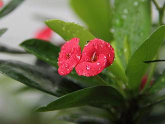 Euphorbia - Euphorbia milii