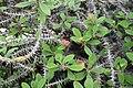 Euphorbia milii var. splendens IM5656 C.JPG