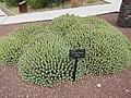 Euphorbia resinifera 1.jpg