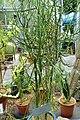 Euphorbia tirucalli - Food and Agriculture Museum - Setagaya, Tokyo, Japan - DSC09851.jpg