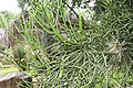 Euphorbia tirucalli 22zz.jpg