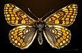 Euphydryas cynthia MHNT CUT 2013 3 28 Col du Lautaret female dorsal.jpg