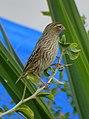 Euplectes capensis - 0140.jpg