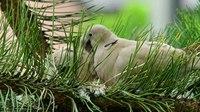 File:Eurasian collared dove (Streptopelia decaocto) in Slovakia.webm