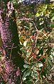 Eurycoma longifolia 3.jpg