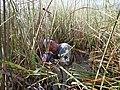 Everglades Sawgrass, September 20, 2014 (15834616155).jpg