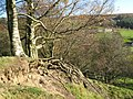 Exposed tree roots - geograph.org.uk - 1588173.jpg