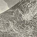 FMIB 41583 Nests of the Dogfish (Almia calva).jpeg