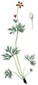 FNY-02c Anemone multifida.png