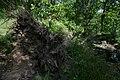 Fallen Tree, Newsholme Dean - geograph.org.uk - 817114.jpg