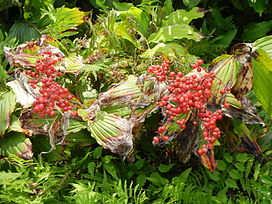 False Solomon's Seal berries.jpg
