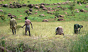 Farmers harvesting paddy