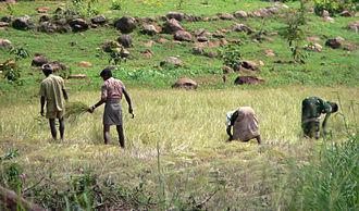 Vellore district - Farmers harvesting paddy near Vellore