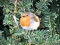 Fat Robin - geograph.org.uk - 1739189.jpg