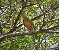 Fawn-breasted Bowerbird. Chlamydera cerviniventris (48630246436).jpg