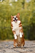Fawn and white Welsh Corgi puppy standing on rear legs and sticking out the tongue.jpg