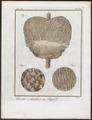 Felis pardus - anatomie - 1700-1880 - Print - Iconographia Zoologica - Special Collections University of Amsterdam - UBA01 IZ22100137.tif