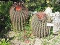 Ferocactus Emoryi (villa Hanbury, Italy).jpg