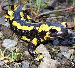 Kifejlett foltos szalamandra