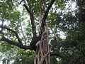 Ficus Barbata - ചേല 01.JPG