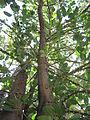 Ficus Geniculata V. Abnormalis.JPG
