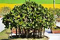 Ficus benghalensis - Bonsai - Alipore - Kolkata 2013-02-10 4769.JPG