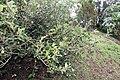 Ficus pumila 27zz.jpg