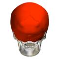 Flat bones in skull - posterior view.png