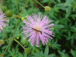 Flickr - João de Deus Medeiros - Mimosa sensitiva.jpg