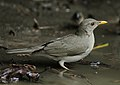 Flickr - Rainbirder - African Thrush (Turdus pelios).jpg