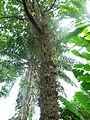 Flickr - brewbooks - Cannonball Tree (Couroupita guianensis) (1).jpg