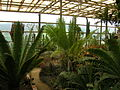 Flickr - brewbooks - Cycads in the greenhouse - Paloma gardens.jpg