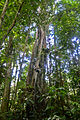 Flickr - ggallice - Canopy climber.jpg
