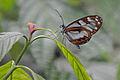 Flickr - ggallice - Ithomiine butterfly.jpg