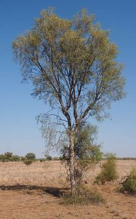 <i>Flindersia maculosa</i>