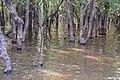 Flooded trees in Kampong Phlouk (2).jpg