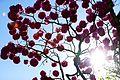 Floração dos ipês-roxos em Brasília 03.jpg