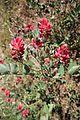 Flora della Sardegna 237 (02).jpg