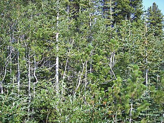 Flora on Klondike Highway, British Columbia 2.jpg