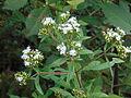 Flores pequeñas blancas.JPG