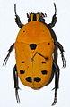 Flower Beetle (Euchroea auripigmenta) (8559397279).jpg