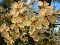 Flowering Cherry Tree (244112119).jpeg