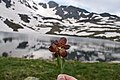 Flowers of Jablanica Mountain, Struga 18.jpg