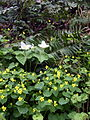 Forest park trillium fern grape and yellow violet P3939.jpeg