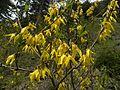 Forsythie (Forsythia europaea).jpg