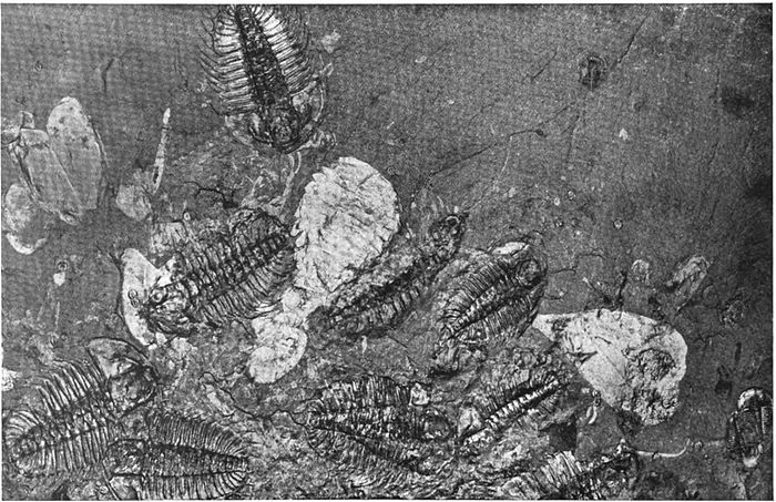 Fragments of a colony of marine animals on a slab of black rock.jpg