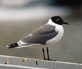 Franklin's Gull Brisbane98.jpg