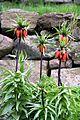Fritillaria 4857.jpg